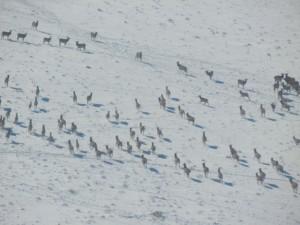 Elk Herd 1